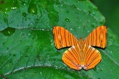 Farfalla intermedia di maplet Fotografie Stock Libere da Diritti