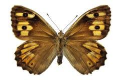 Farfalla isolata del Grayling Fotografia Stock Libera da Diritti