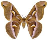 Farfalla isolata del silkmoth di ailanthus Fotografia Stock Libera da Diritti