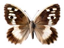 Farfalla isolata dell'eremita Fotografia Stock