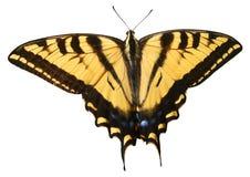 Farfalla isolata di Swallowtail Fotografie Stock Libere da Diritti