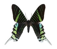 Farfalla isolata su un bianco Immagine Stock Libera da Diritti