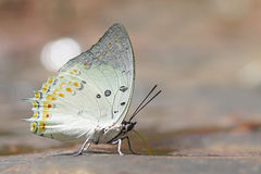 Farfalla Jewelled del nawab Fotografia Stock