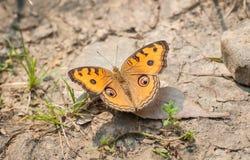 Farfalla Junonia Almana della pansé del pavone Fotografia Stock Libera da Diritti