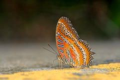Farfalla lacewing rossa Immagine Stock