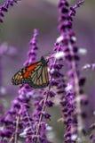 Farfalla in lavanda fotografia stock