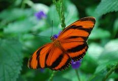 Farfalla legata arancione Immagini Stock Libere da Diritti