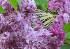 Farfalla in lillà Fotografia Stock Libera da Diritti