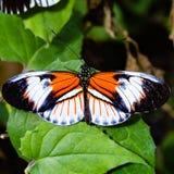 Farfalla longwing colorata nera, arancio e bianca immagini stock libere da diritti