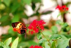 Farfalla longwing di Numata sui fiori Fotografie Stock Libere da Diritti