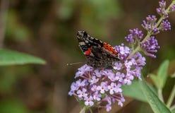 Farfalla luminosa sui piccoli fiori viola Immagine Stock Libera da Diritti