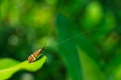 Farfalla lunga dell'antenna immagine stock