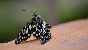 Farfalla macchiata immagini stock
