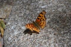 Farfalla macchiata su una pietra Fotografia Stock Libera da Diritti