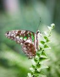 Farfalla macchiata verde Fotografia Stock