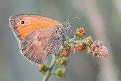 Farfalla a macroistruzione Immagini Stock