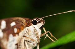 Farfalla (maculatus di Pyrgus) Fotografia Stock Libera da Diritti