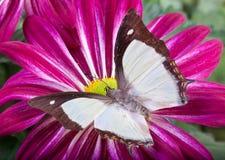 Farfalla malese di Newaf Fotografia Stock