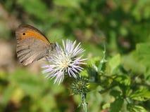 Farfalla (Maniola Jurtina) sul fiore bianco Immagine Stock