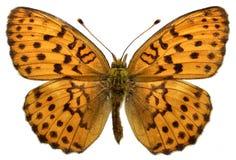 Farfalla marmorizzata isolata della fritillaria Fotografie Stock Libere da Diritti