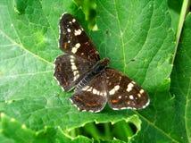 farfalla marrone Fotografie Stock Libere da Diritti