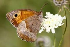 Farfalla marrone del prato immagine stock libera da diritti