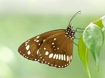 Farfalla marrone dell'oleandro Immagine Stock Libera da Diritti
