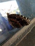 Farfalla marrone modellata, sul vetro fotografia stock