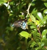 Farfalla maschio australiana nociva dell'Uccello-ala di Richmond Immagine Stock