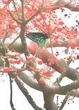 Farfalla maschio australiana rara dell'Uccello-ala del Queensland Richmond Fotografie Stock
