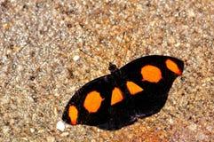 Farfalla maschio di Catone del semaforo rosso Fotografie Stock