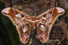Farfalla messa le piume a Fotografie Stock Libere da Diritti