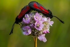 Farfalla - minos di Zygaena immagine stock