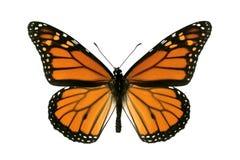 Farfalla, monarca, Milkweed, vagabondo Fotografia Stock Libera da Diritti