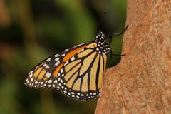 Farfalla - monarca - nymphalidae - Danainae - accoppiarsi fotografie stock libere da diritti
