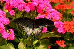 Farfalla mormonica che si alimenta nei giardini. immagine stock