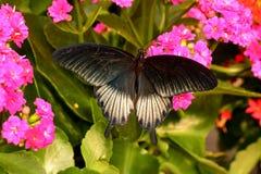 Farfalla mormonica che si alimenta nei giardini. fotografia stock libera da diritti