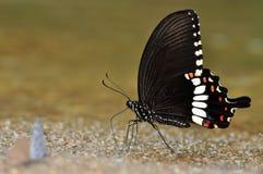 Farfalla mormonica comune Fotografie Stock Libere da Diritti