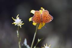 Farfalla mormonica del Fritillary, mormonia di Speyeria fotografia stock