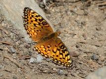 Farfalla mormonica della fritillaria fotografia stock