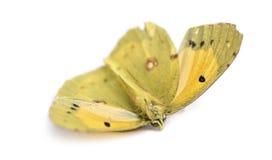 Farfalla morta dopo che un frontale ha colpito con un'automobile, isolata Fotografia Stock
