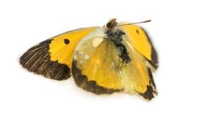 Farfalla morta dopo che un frontale ha colpito con un'automobile, isolata Immagini Stock