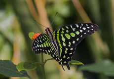 Farfalla munita del Jay Fotografia Stock