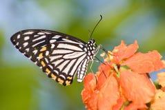 Farfalla in natura Fotografie Stock
