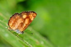 Farfalla in natura verde o nel giardino Fotografia Stock Libera da Diritti