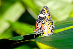 Farfalla naturale Immagine Stock