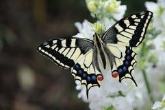Farfalla nel giardino Fotografie Stock Libere da Diritti