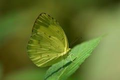 Farfalla nel giardino Fotografia Stock