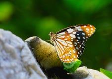 Farfalla nel giardino di fiore Immagini Stock Libere da Diritti