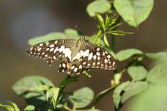 Farfalla nel nature' mondo di s e cercare l'alimento fotografia stock